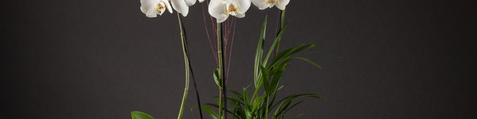 cuidado de la Orquidea Phalenopsis